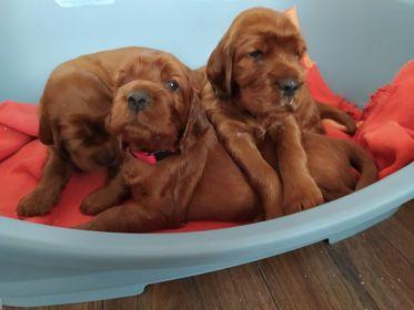 25 days pups MB